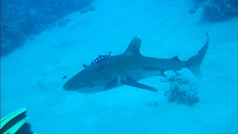 акула у берегов Египта