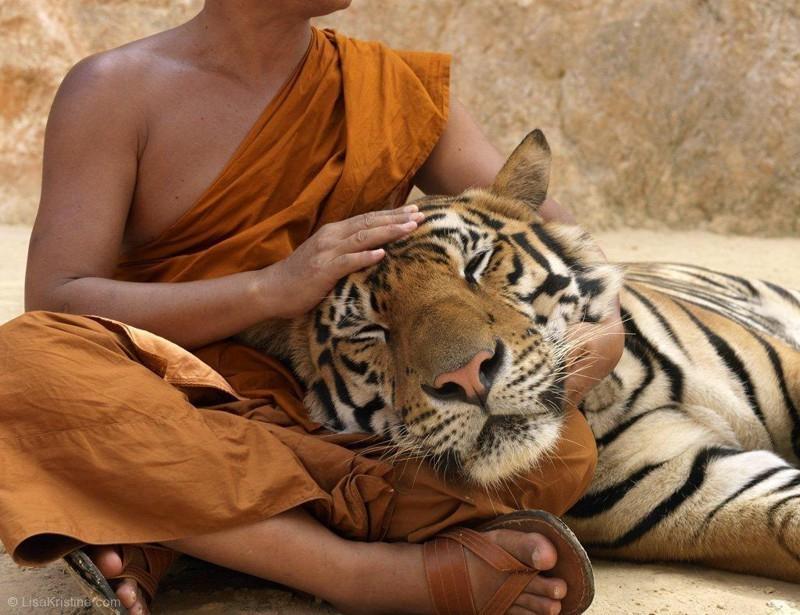 Встреча с тиграми