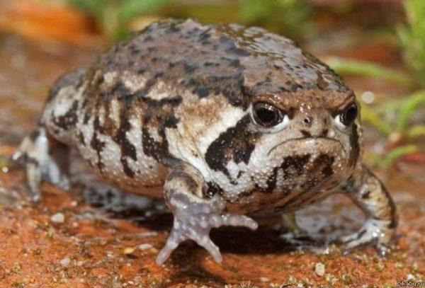 самки жаб